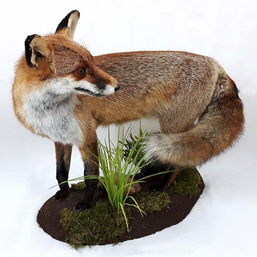 Fuchs blickt zurück
